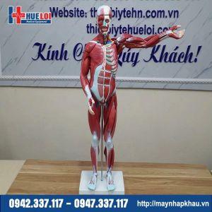 Mô hình giải phẫu cơ và nội tạng 78cm
