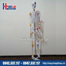 Mô hình giải phẫu xương người 170cm đa chức năng