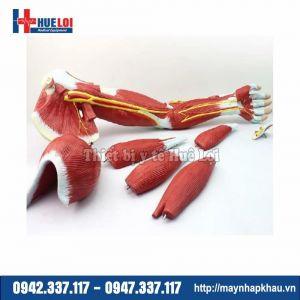 Mô hình giải phẫu cơ và thần kinh chi trên