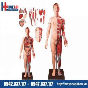 Mô hình giải phẫu hệ cơ và nội tạng 170cm cao cấp