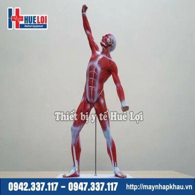 Mô hình giải phẫu cơ toàn bộ cơ thể
