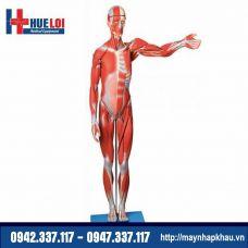 Mô hình giải phẫu cơ và nội tạng toàn cơ thể 170cm