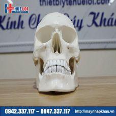 Mô hình giải phẫu hộp sọ và não bóc tách được các chi tiết