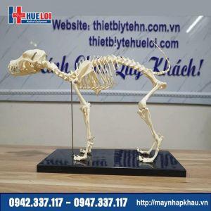 Mô hình giải phẫu bộ xương Chó