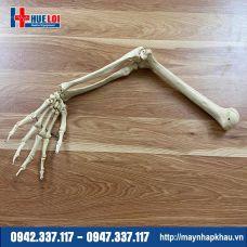 Mô hình giải phẫu xương chi trên