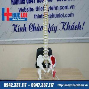 Mô hình xương cột sống và khung chậu 83cm