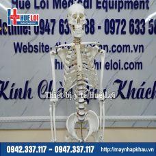 Mô hình xương người kèm rễ thần kinh 170cm