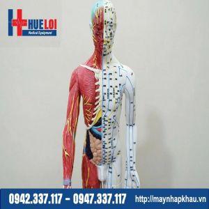 Mô hình huyệt vị 85cm kèm giải phẫu nội tạng