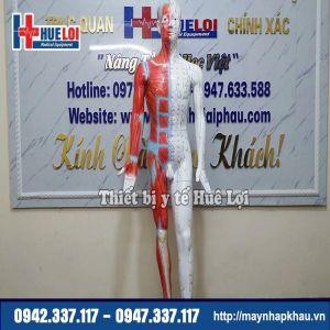Mô hình huyệt vị - giải phẫu cơ thể người 178cm