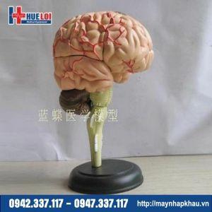 Mô hình giải phẫu bộ não chi tiết