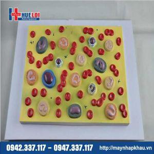 Mô hình các loại tế bào máu phóng đại