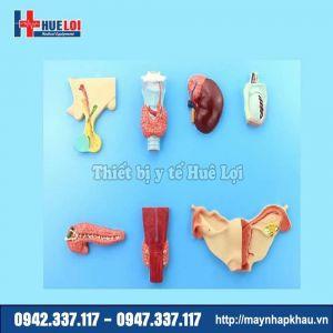 Mô hình các tuyến nội tiết của cơ thể