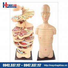 Mô hình cắt lớp cơ thể theo chiều ngang