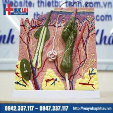 Mô hình giải phẫu da người phóng đại