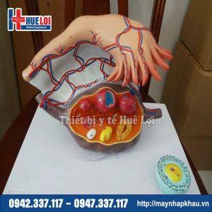 Mô hình giải phẫu buồng trứng và các giai đoạn phát triển của nang trứng