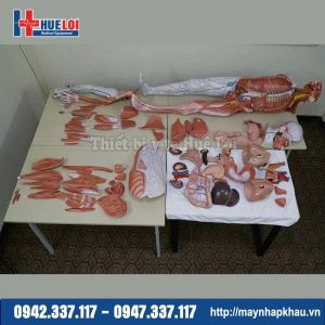 Mô hình giải phẫu hệ cơ và nội tạng người 170cm