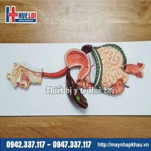 Mô hình giải phẫu hệ tiêu hóa