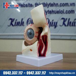 Mô hình giải phẫu mắt chi tiết