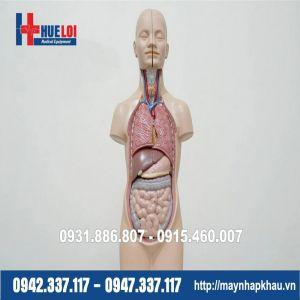 Mô hình giải phẫu nội tạng cơ thể người - Mô hình trung tính