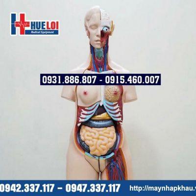 Mô hình giải phẫu nội tạng nữ giới
