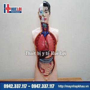 Mô hình giải phẫu nội tạng nam giới