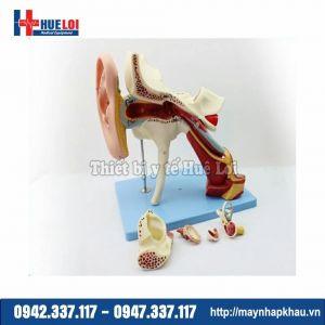 Mô hình giải phẫu tai người chi tiết