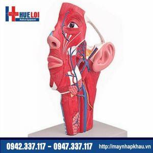 Mô hình giải phẫu chi tiết vùng mặt cổ
