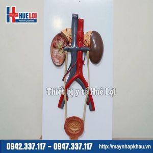 Mô hình giải phẫu hệ tiết niệu