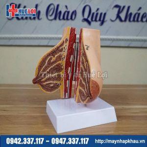 Mô hình giải phẫu tuyến vú