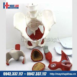 Mô hình giải phẫu khung chậu nữ