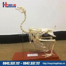 Mô hình giải phẫu xương gà